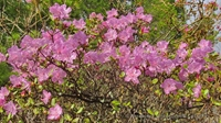 Pink inspiration: how Rhododendron makes The Altai Mountains even more beautiful